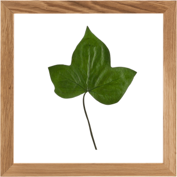 Plante encadrée lierre 34x34 cm-NATURE